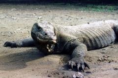 Komodo – Indonesia – 1993 - Foto: Ole Holbech